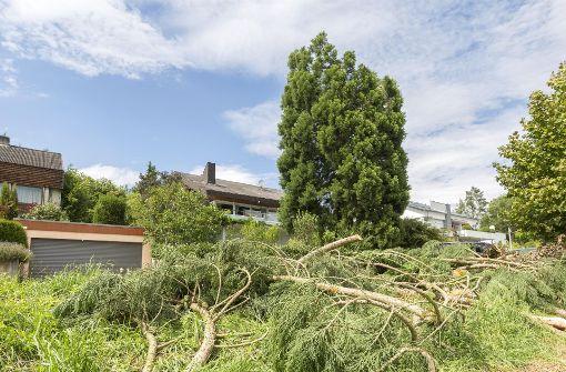 Blitz kappt  Mammutbaum