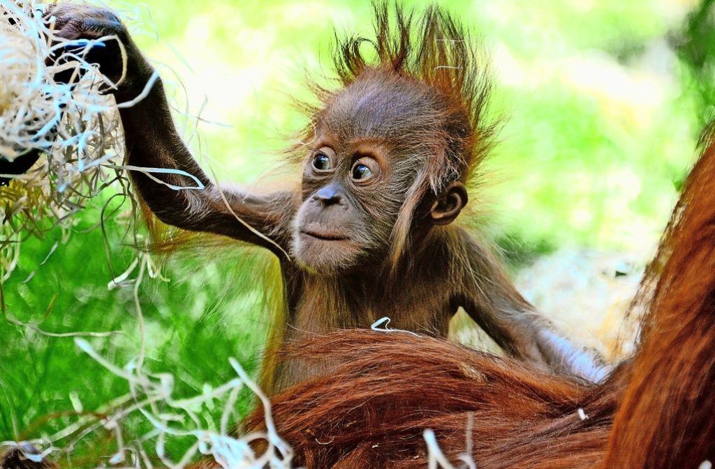Vom Aussterben bedrohte Art: die Orang-Utans (hier im Münchner Zoo) Foto: dpa