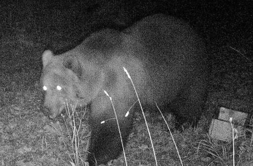 Wildtierkamera filmt jungen Braunbären in Bayern