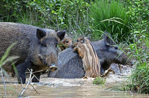 Wildschweine liegen gerne im Schatten der Bäume