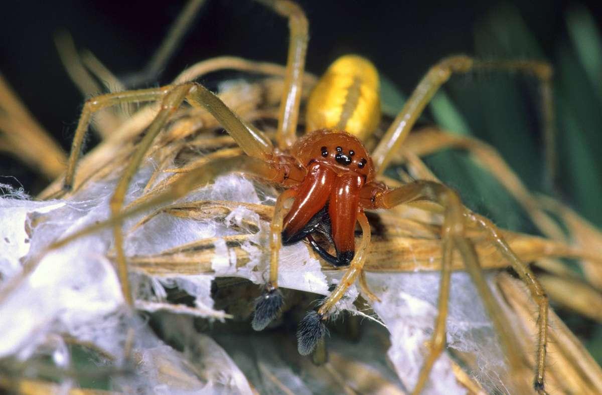 In Teilen Deutschlands wurde eine neue, giftige Spinnenart entdeckt: Der Ammen-Dornfinger. Foto: imago/blickwinkel