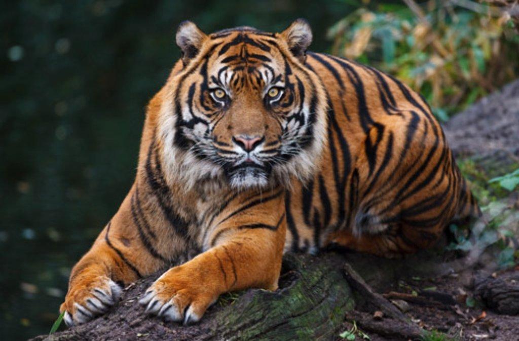 Sumatra-Tiger Carlos musste eingeschläfert werden, nachdem bei ihm Krebs im fortgeschrittenen Stadium festgestellt worden war. Die Raubkatze lebte seit 2006 in der Stuttgarter Wilhelma. Foto: Harald Löffler