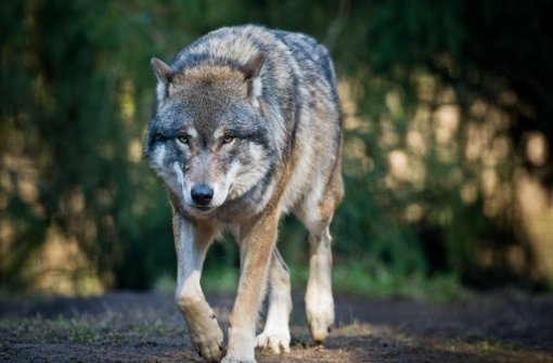 Tote Wölfe stammen aus selbem Rudel