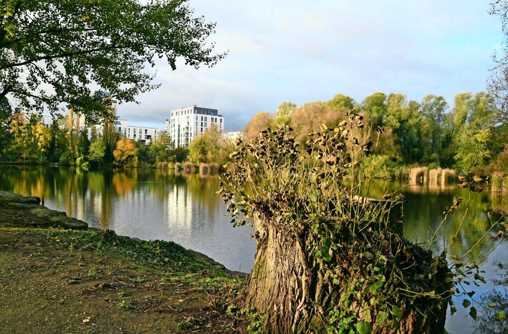 Die mehrstämmige Pappel am Prostsee wurde im vergangenen Frühjahr gefällt, weil sie nicht mehr standsicher war, so die angabe der Stadtverwaltung. Foto: Alexandra Kratz