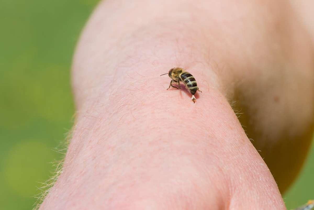 Warum stirbt die Biene nach dem Stich? Foto: Mirko Graul / shutterstock.com