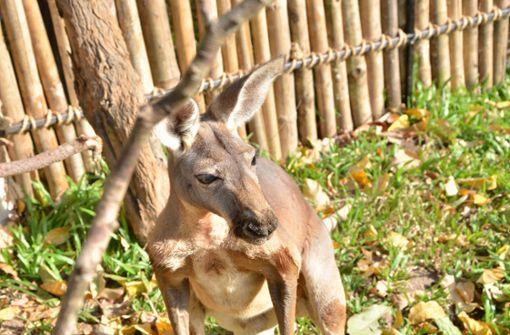 Vermisstes Känguru ist wieder da