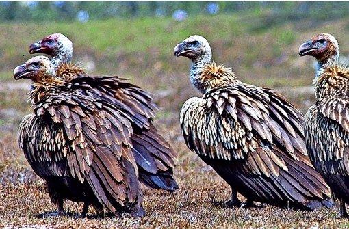 Die Bengalgeier galten einmal als die weltweit am häufigsten vorkommenden Raubvögel. Foto:dpa Foto:
