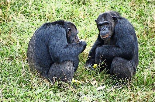Wenn Schimpansen dicke Kumpel werden