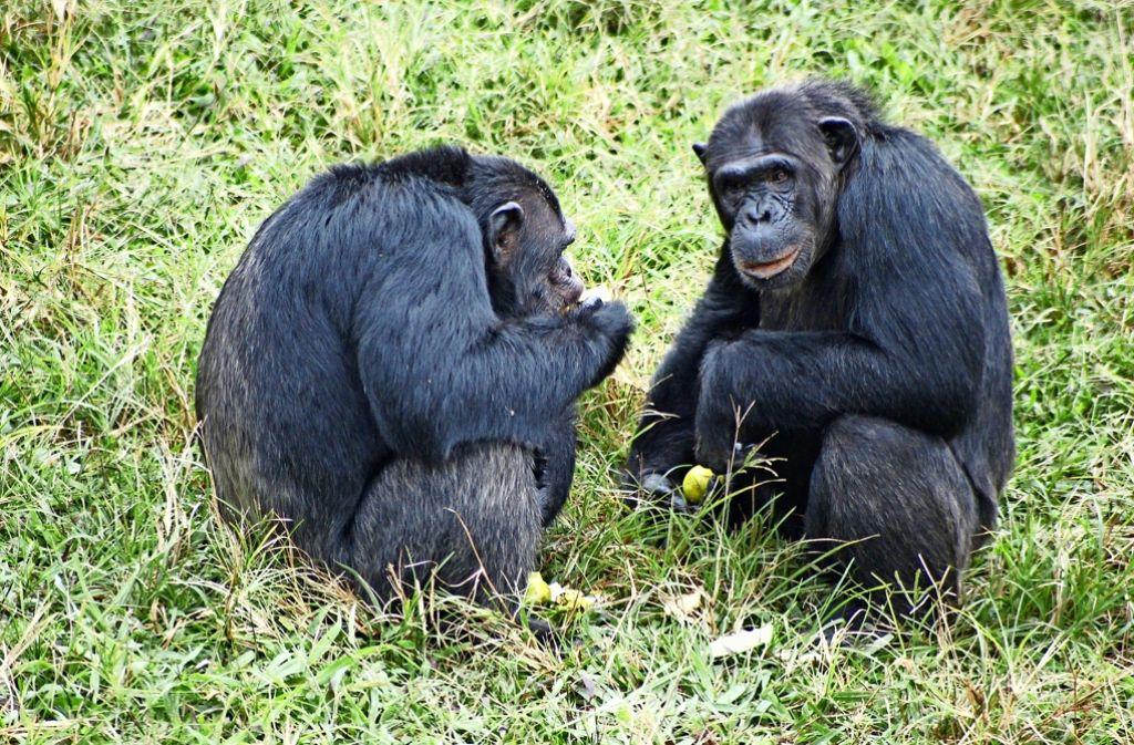 Bei den Affen ist es wie bei den Menschen: Nicht jeder kann mit jedem. Foto: dpa