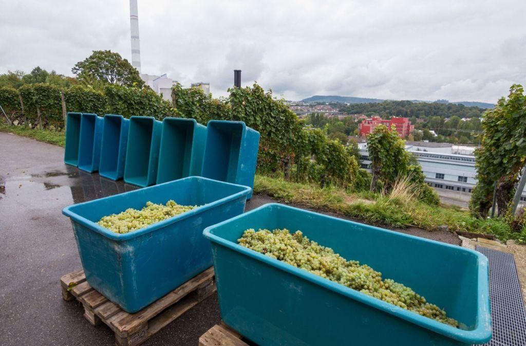 Die Weinlese ist in Stuttgart und der Region in vollem Gang. Foto: Lichtgut/Julian Rettig