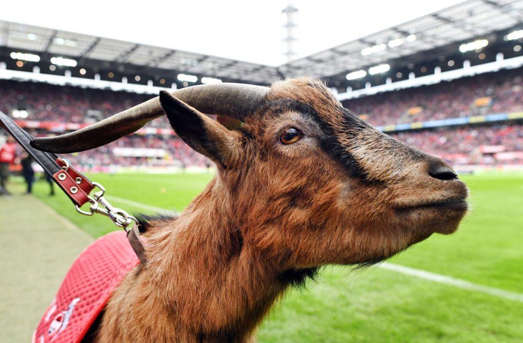 Geißbock Hennes ist das Maskottchen des 1. FC Köln. Foto: dpa/Federico Gambarini