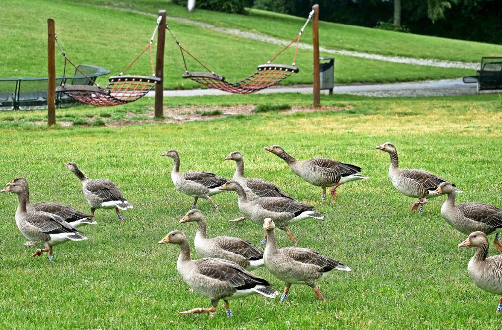 Die Vogelkundler  haben im Stadtpark mit seinem See und dem kurzen Gras  sehr gute Lebensbedingungen für die Schar  der Graugänse ausgemacht. Foto: factum/Simon Granville