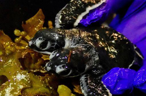 Zweiköpfige Babyschildkröte entdeckt
