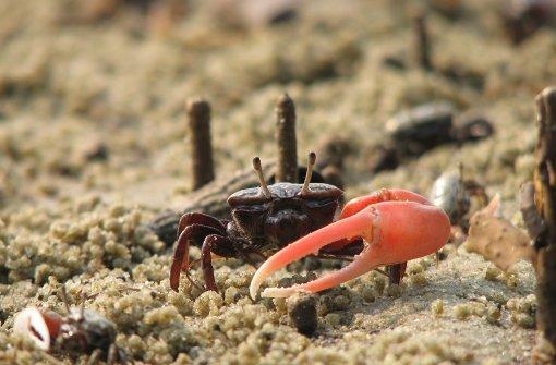 Beim Krabbenpulen entstehen wertvolle Rohstoffe