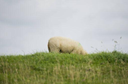 Unbekannte zerschneiden Schutzanzug eines allergischen Schafes
