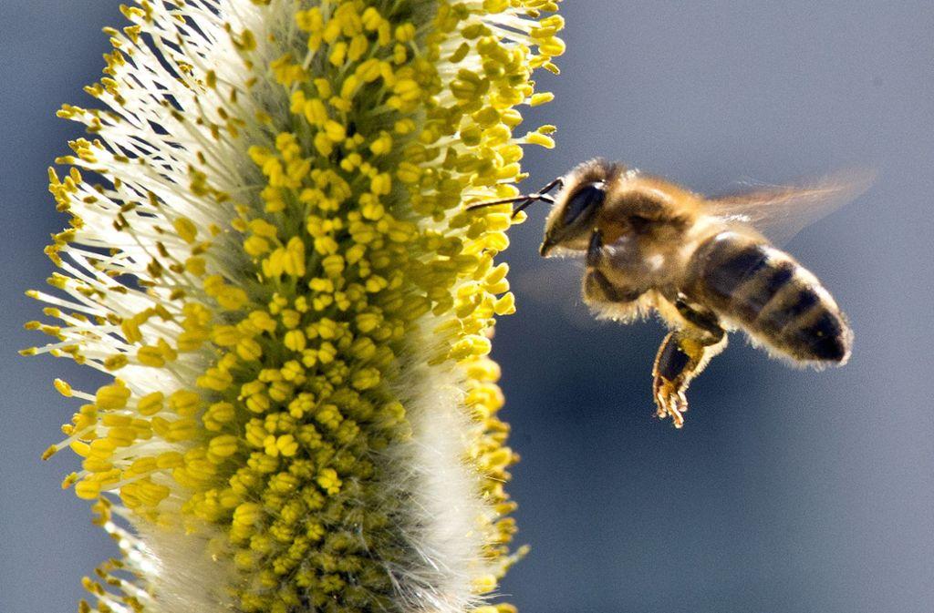 Eine Biene fliegt zu den Pollen eines Weidenkätzchens. Foto: dpa