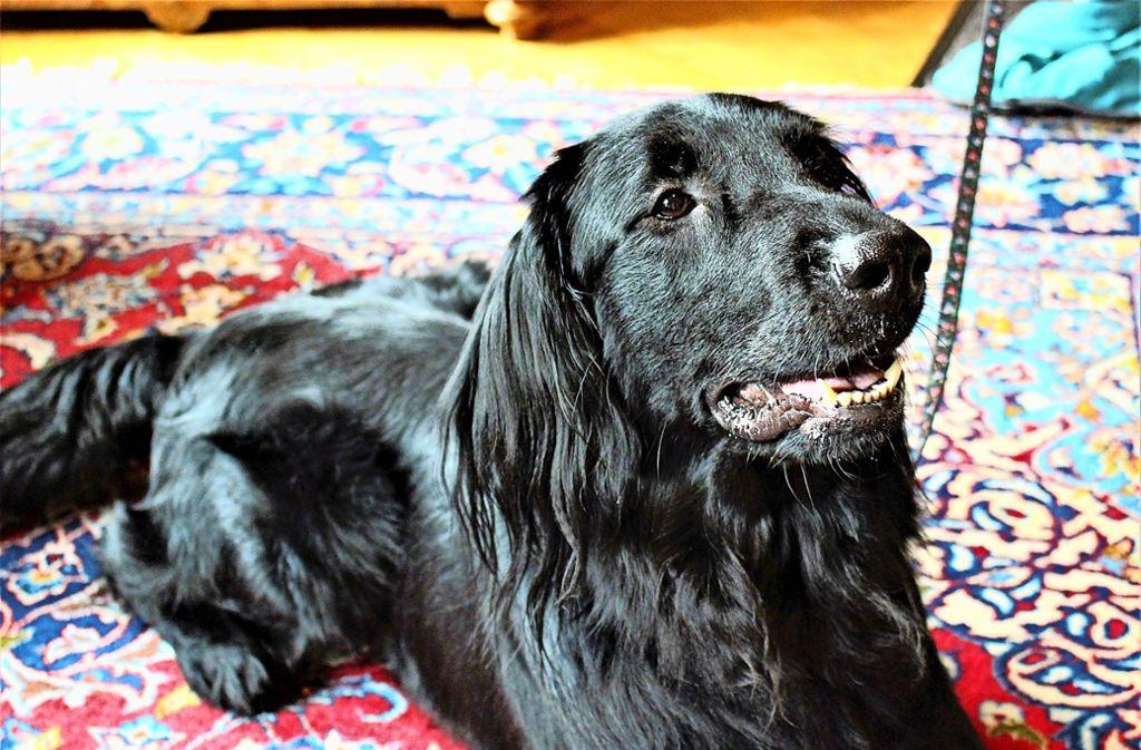 Nico ist ein Flat Coated Retriever. Der Rüde ist drei Jahre alt. Foto: Holowiecki