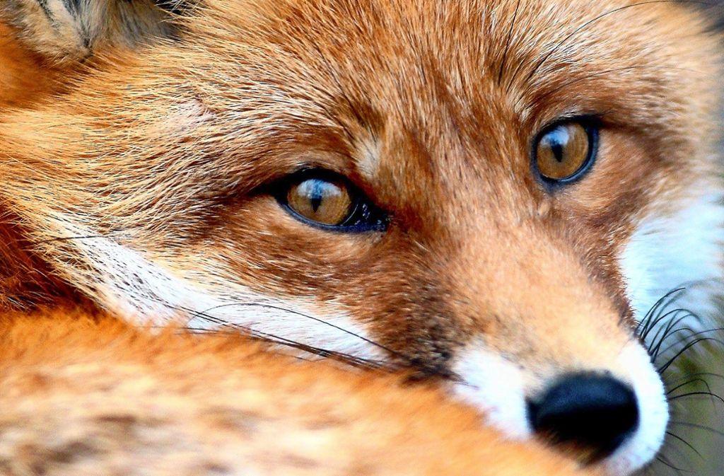 So unschuldig wie er schaut, ist der Fuchs wohl nicht. Rund um den Haldenwald  klaut er Schuhe Foto: dpa