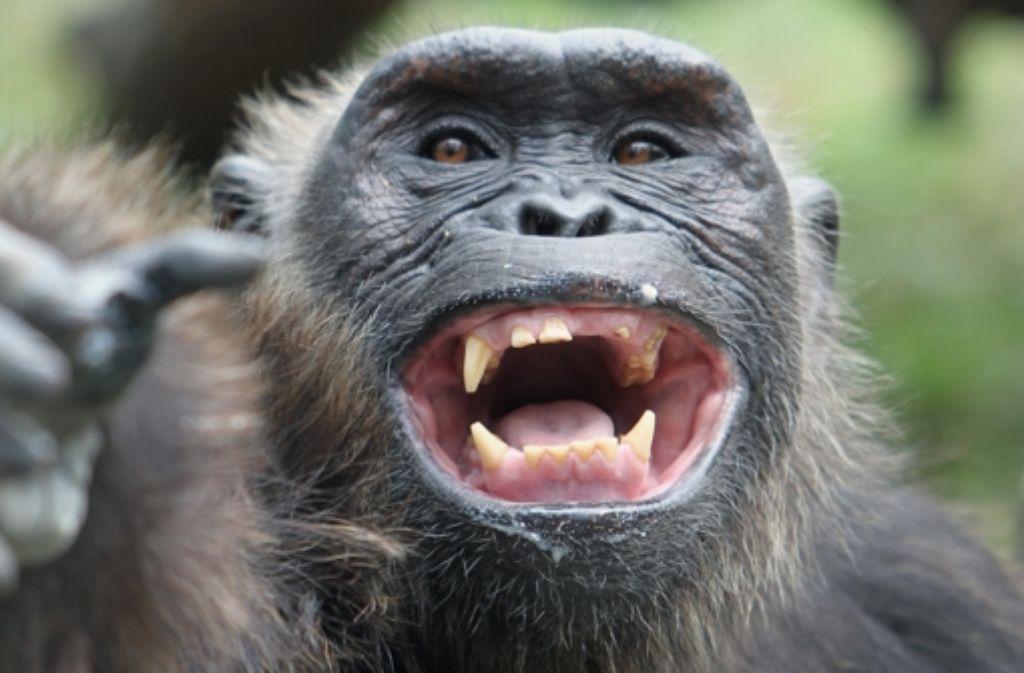 Eine Schimpanse in Bangkok: immer wieder werden Affen illegal gehalten. Foto: dpa