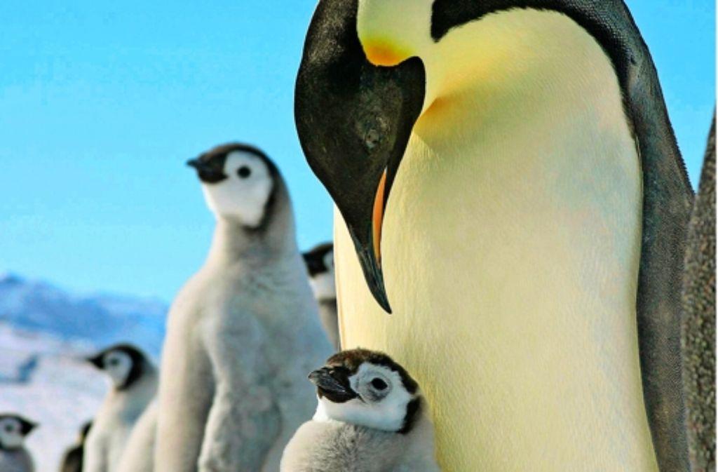Kaiserpinguine sind die wohl hingebungsvollsten Eltern des Tierreichs. Foto: Alfred-Wegener-Institut