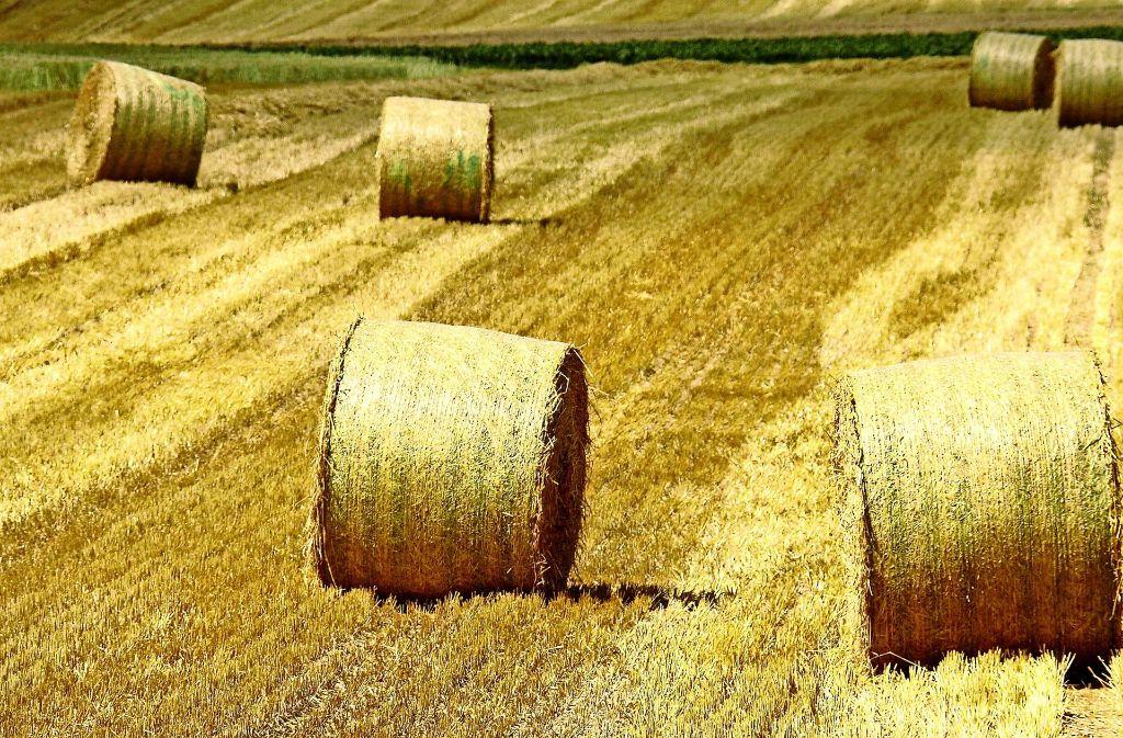 Noch gibt es im Strohgäu nach der Ernte gelb glänzende Felder , die Aussaat des Getreides wird mitunter ergänzt oder ersetzt zum Beispiel  durch Reis. Foto: factum/Archiv