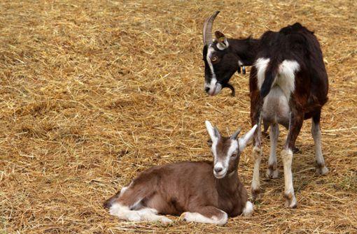 Tiere selbst schlachten – was geht und was nicht