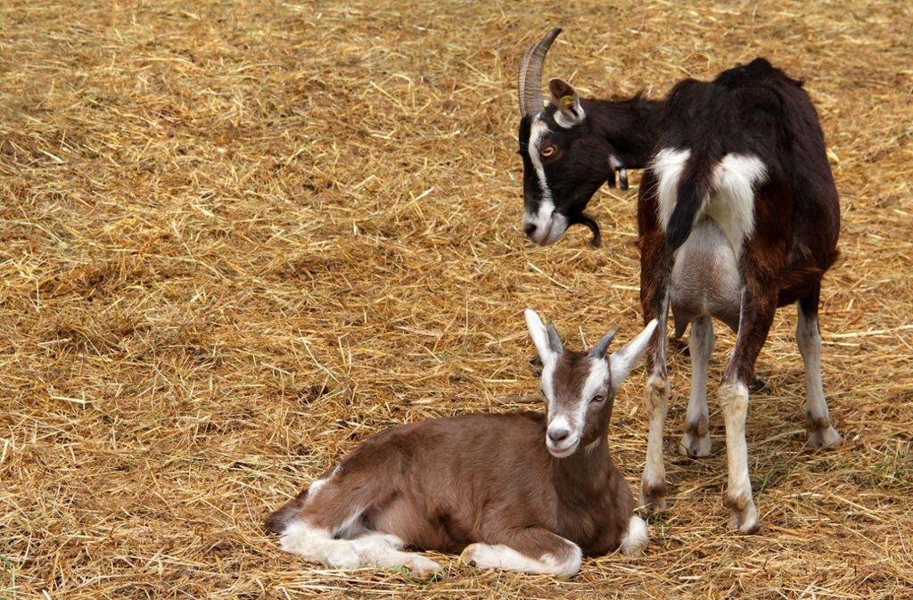 Ziegen müssen wie alle Huftiere erst betäubt werden, bevor man sie schlachtet. Foto: 65551650