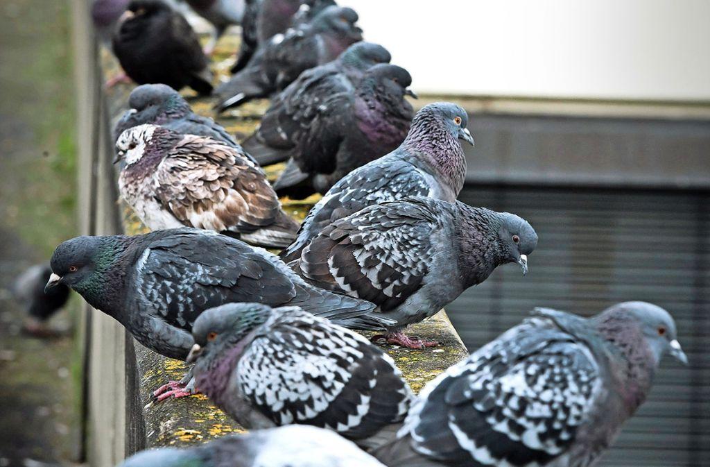 Nopaloma wird gegen Tauben so gut wie nicht mehr verwendet. Foto: Lichtgut/Achim Zweygarth