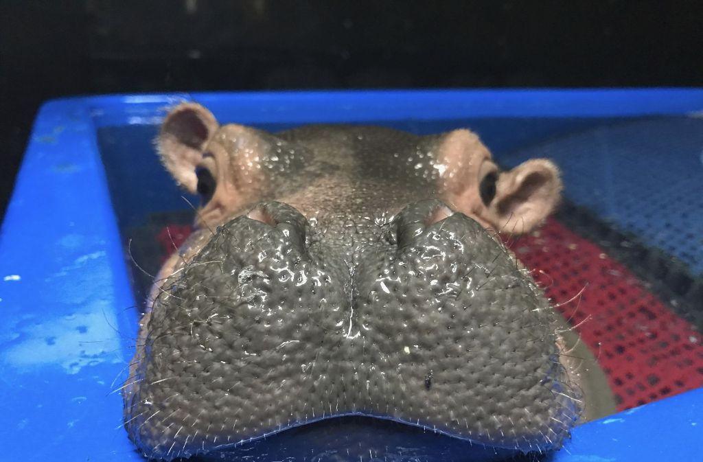 Zuckersüß: Die Geburt des kleinen Baby-Hippos Fiona ist im Zoo von Cincinnati eine Sensation. Foto: Angela Hatke/Cincinnati Zoo & Botanical Garden/AP/dpa