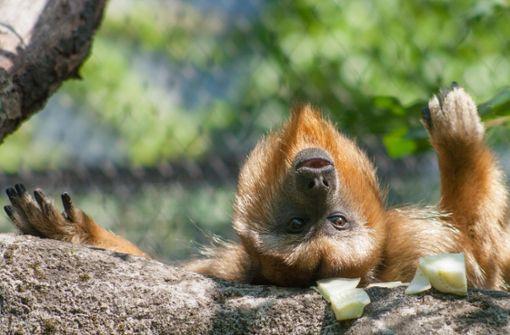 Zoo hofft auf Baby-Brüllaffen