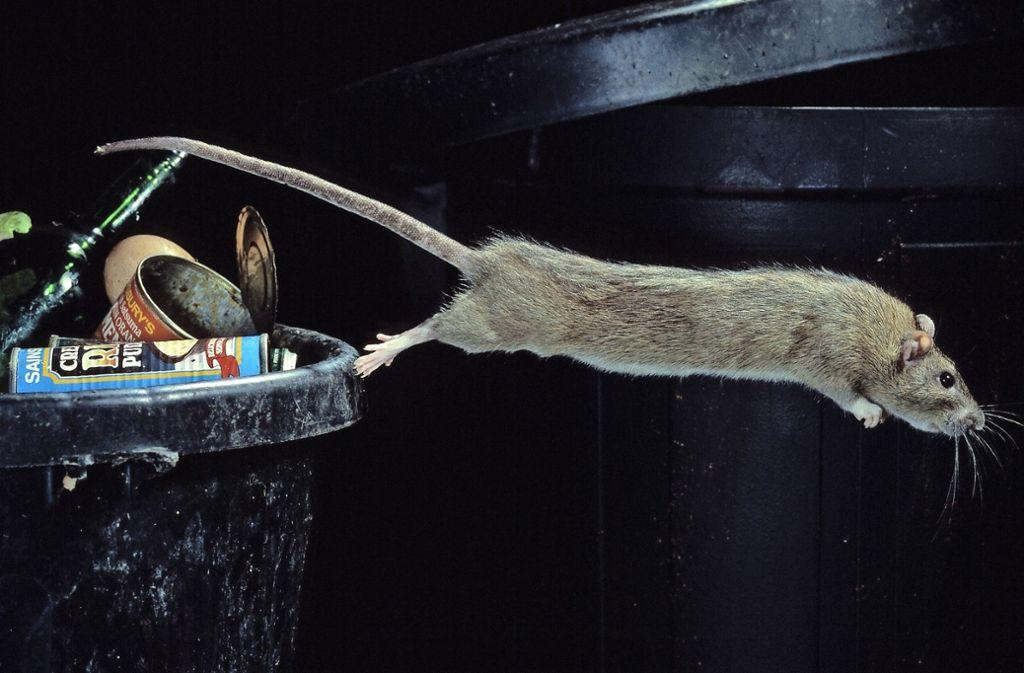 Die unbeliebten Tiere suchen im Müll nach  Nahrung. Foto: Mauritius