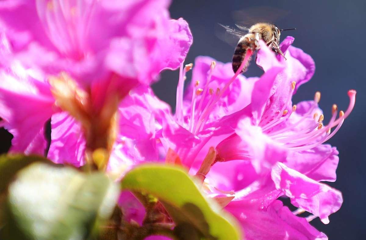 Eine abwechslungsreiche Nahrungsquelle für Bienen bieten Topfpflanzen. (Symbolfoto) Foto: dpa/Oliver Berg