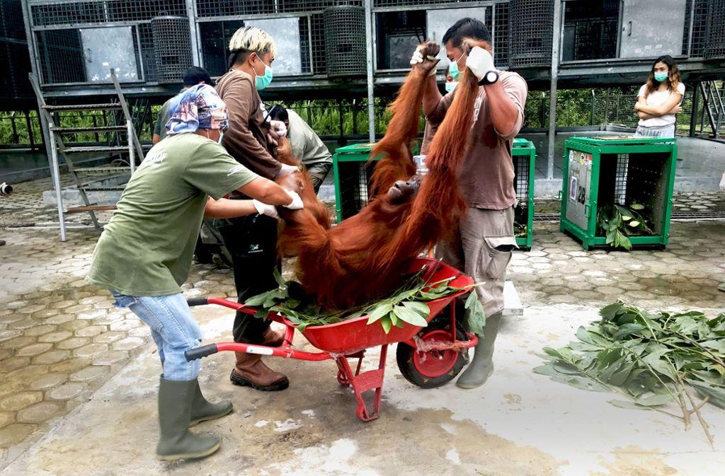 Das betäubte Tier wird nun für den Transport in den Nationalpark fertig gemacht. Foto: dpa