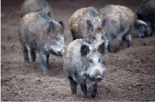 Schweinepest nahe Deutschland nachgewiesen