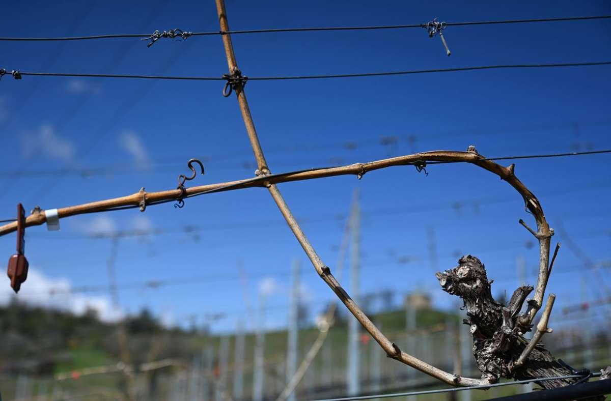 Weinreben stehen geschnitten und gebunden in einem Weinberg bei Stuttgart-Uhlbach. Durch den jüngsten  Kälteeinbruch gibt es im Südwesten  vereinzelt Frostschäden Foto: Bernd Weißbrod/dpa