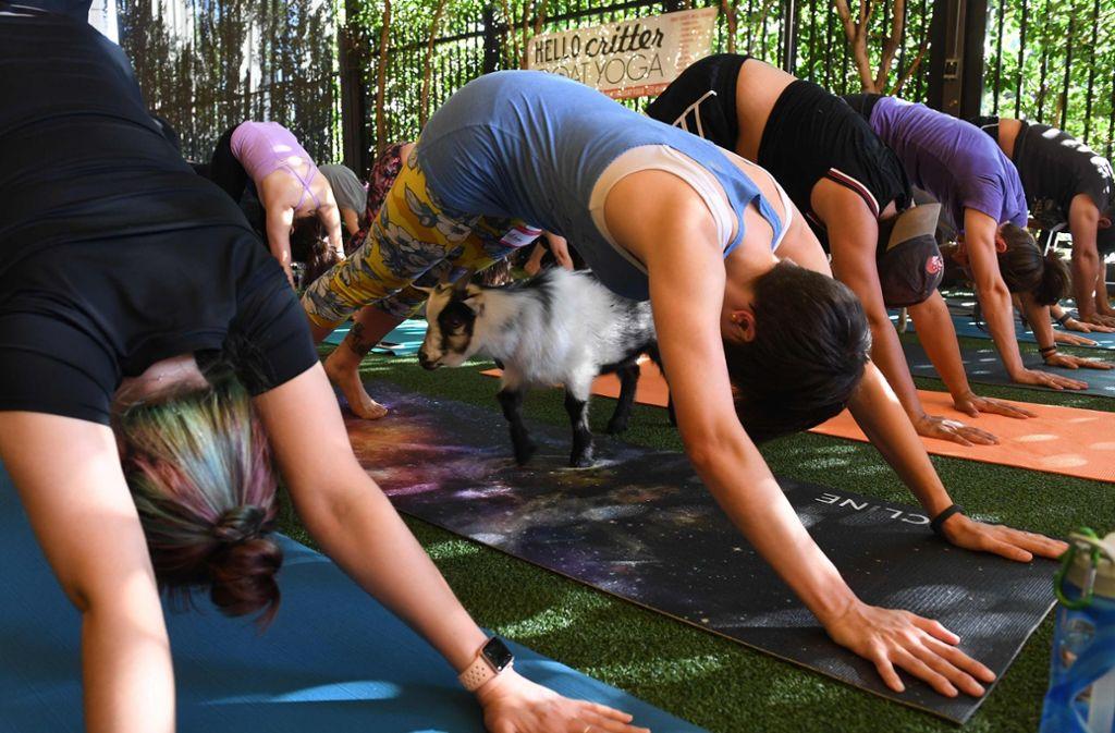 Ziegen-Yoga ist nur eine der absonderlichen Varianten, die in der Yoga-Szene praktiziert werden. Foto: AFP