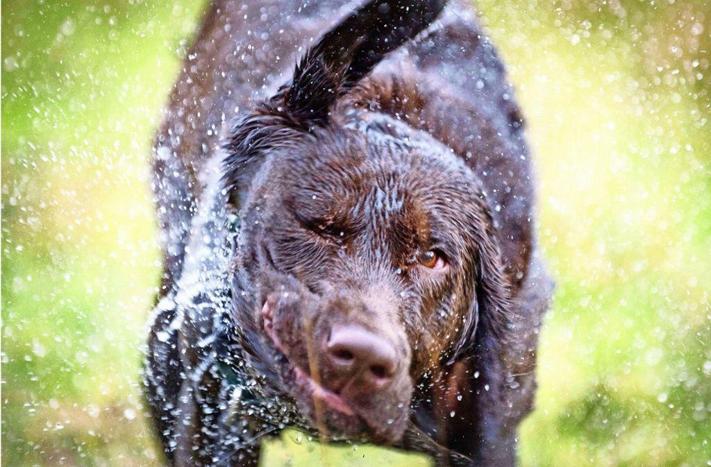 Ein Labrador griff zunächst den Hund der 33-Jährigen und danach auch sie an. (Symbolbild) Foto: dpa