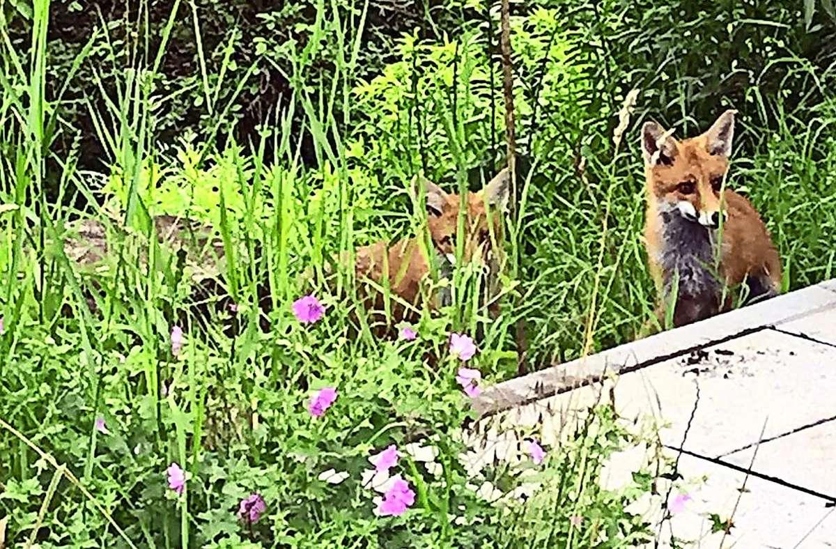 Die Kaltentaler Fuchsfamilie traut sich sogar auf die Terrasse. Foto: privat