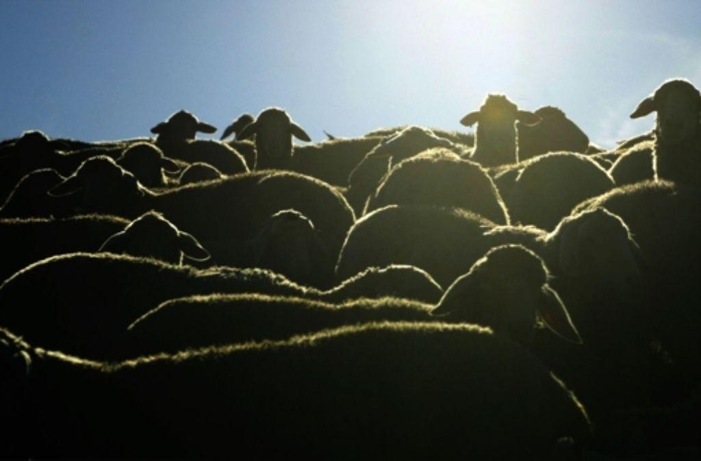 Nicht alle Schafe haben es so gut wie diese Exemplare. Foto: dpa