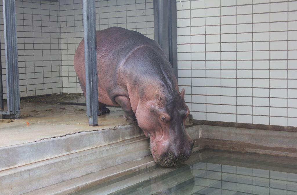 Vorbei die einsame Zeit in der Wilhelma für Mike. Der Bulle soll sich künftig um zwei Flusspferd-Kühe in Tschechien kümmern. Foto: Torsten Ströbele