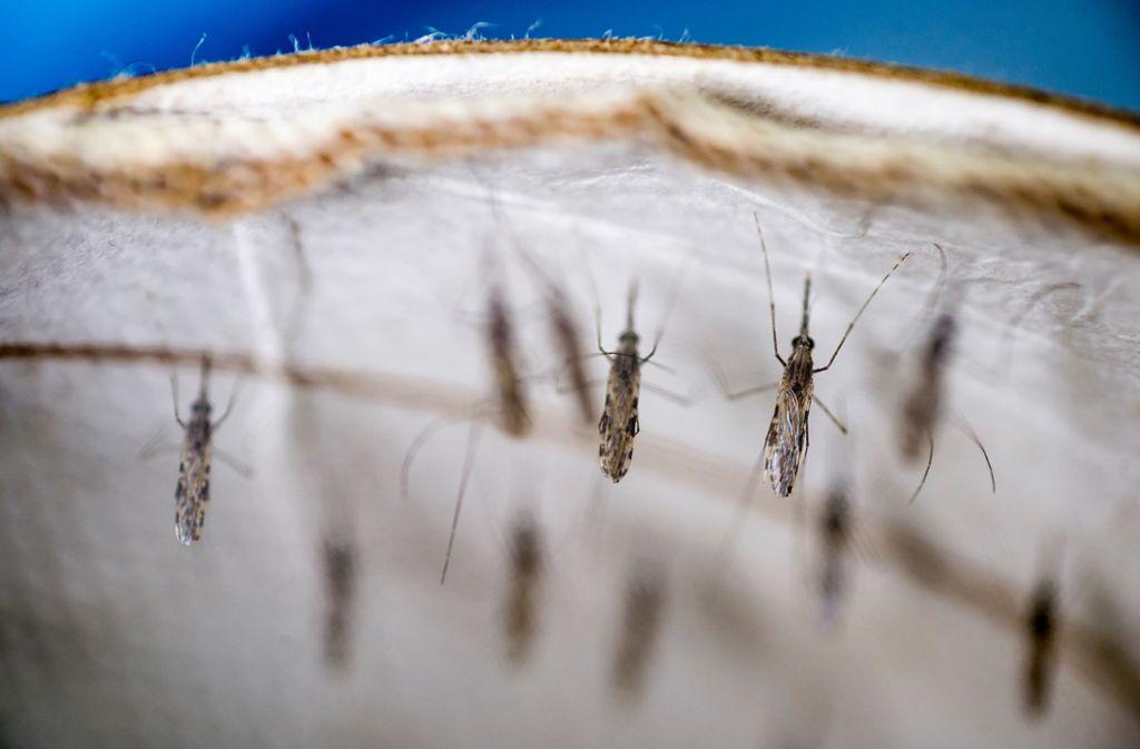 Malariamücken im Labor Medical Research Institute (KEMRI) nahe der Stadt Kisumu in Kenia. Im Kampf gegen die Infektionskrankheit Malaria hat es nach Angaben der Weltgesundheitsorganisation WHO zuletzt nur kleine Fortschritte gegeben. Foto: Sven Torfinn/WHO/dpa