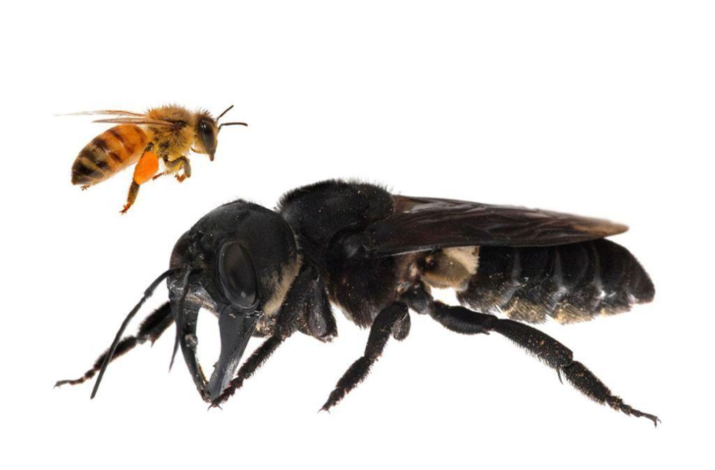 """2019 – """"Megachile pluto"""": Die Wallace-Riesenbiene galt seit vielen Jahren als ausgestorben. 2019 stieß der Naturfototgraf Clay Bolt in der Wildnis der nördlichen Molukken auf einen ganzen Bienenstock. Die Bienenart war im 19. Jahrhundert vom britischen Naturforscher Alfred Russel Wallace entdeckt und laut GWC zuletzt 1981 in freier Wildbahn gesichtet worden.  Foto: Global Wildlife Conservation/AFP"""