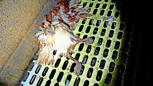 Hühnerhaltung: Streit  geht weiter
