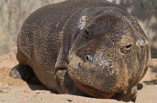 Uraltes Flusspferd Hannibal stirbt