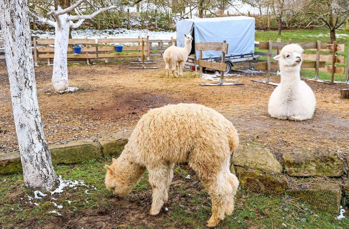 Die Alpakas (vorne) haben sich nicht an dem Ausbruchversuch  im Lohlenbachtäle beteiligt,  nur die Lamas waren vermutlich auf der Suche nach einem Partner. Die Alpakas (vorne) haben sich nicht an dem Ausbruchversuch  im Lohlenbachtäle beteiligt,  nur die Lamas waren vermutlich auf der Suche nach einem Partner. Foto: Granville