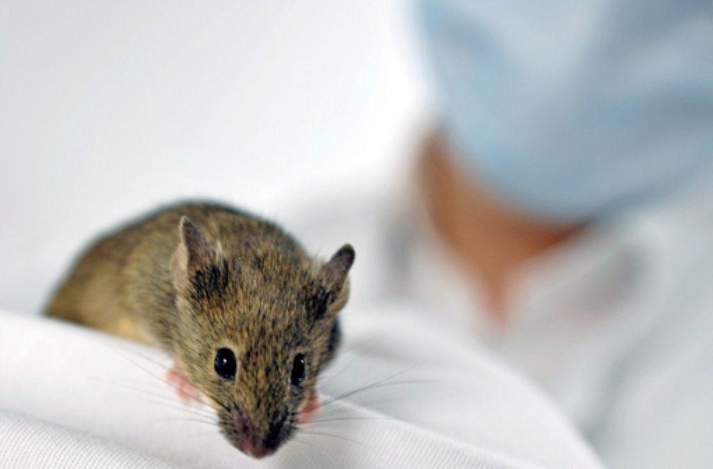 An Mäusen wird unter anderem die Entstehung von Alzheimer untersucht. Foto: dpa