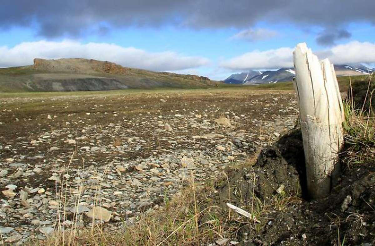 Der Stoßzahn eines Wollmammuts, der aus dem Permafrostboden auf der Wrangelinsel im nordöstlichen Sibirien herausragt. Foto: Love Dalén/dpa