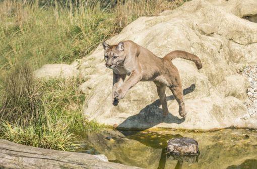 Dreijähriger überlebt Angriff eines Pumas
