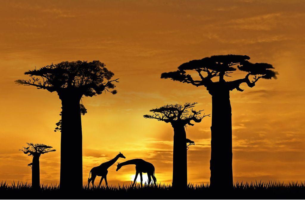 In Afrikas Trockengebieten stehen die  mächtigen Baobab-Bäume – nur wie lange noch? Foto: adrenalinapura/Adobe Stock