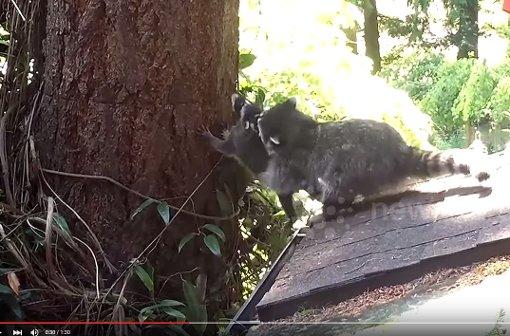 Mama Waschbär bringt ihrem Baby das Klettern bei